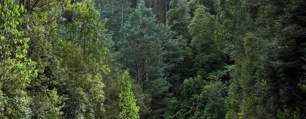 Tasmanian Wilderness - Ancient Forests - Pepper Bush Adventures
