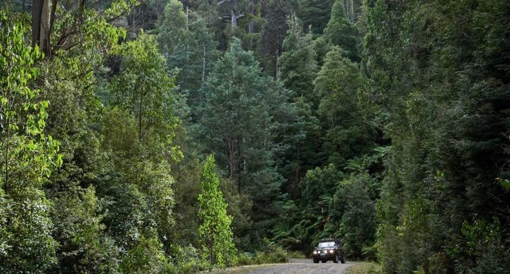 Tasmanian Wilderness - Ancient Forests - Pepper Bush Adventures