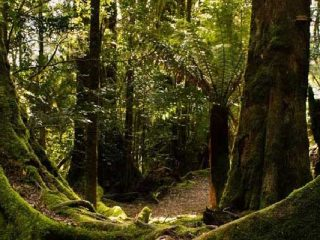 Tasmanian Wilderness - Rain Forest - Pepper Bush Adventures