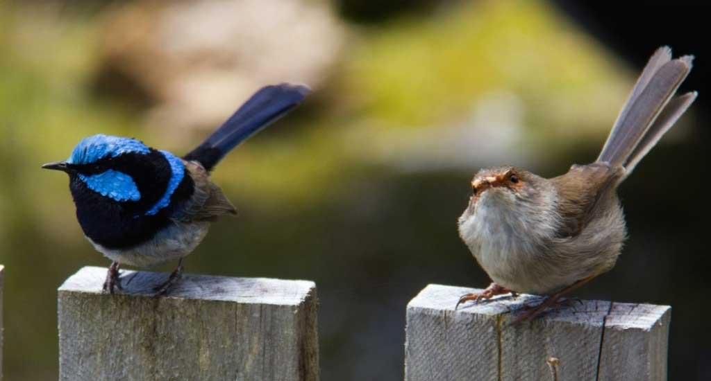 Male & Female Blue Wren