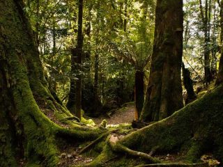 Tasmanian Wilderness - Rain Forest - Pepper Bush Adventures