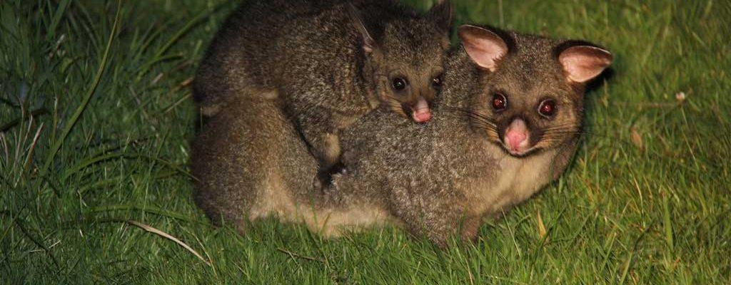 Quoll Patrol - Tasmanian Wildlife Tours - Pepper Bush Adventures