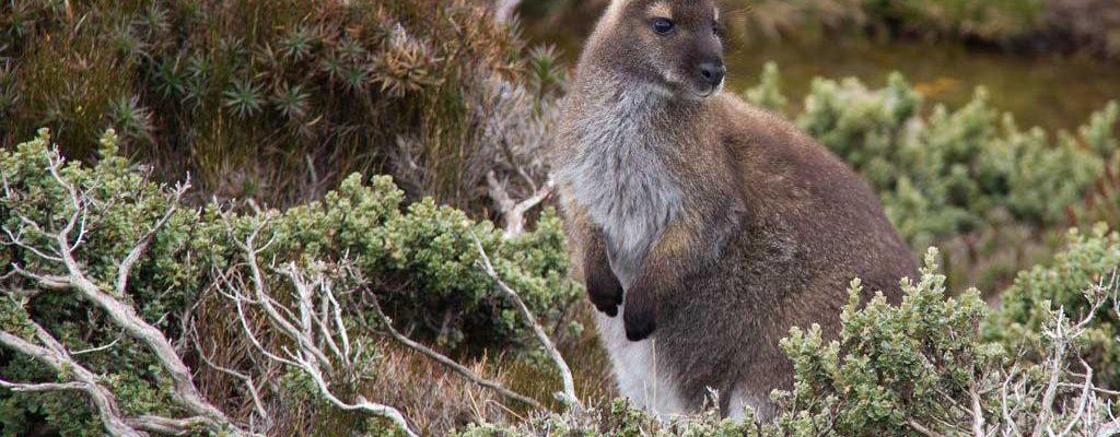 Tasmania Wildlife - Bennetts Wallaby - Pepper Bush Adventures