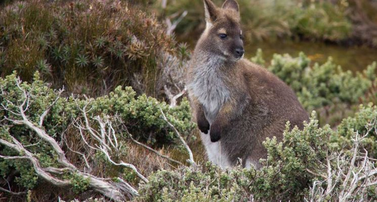 Tasmania Wildlife - Bennetts Wallaby - Pepper Bush Adventures