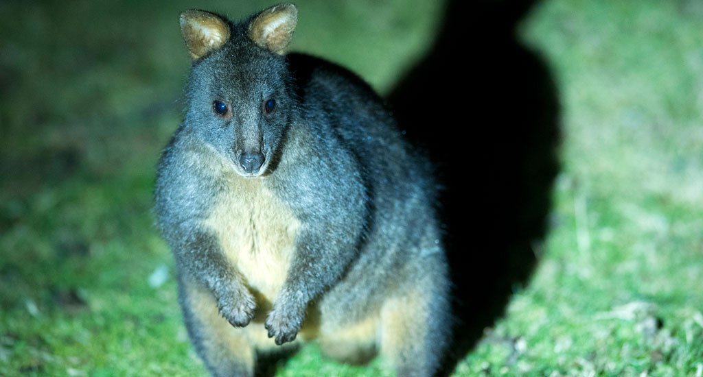 Tasmanian wildlife tour pademelon wallaby
