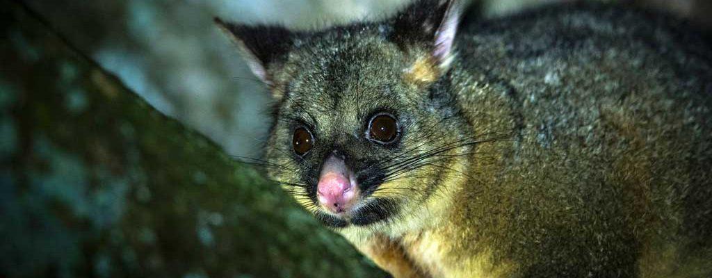 Brush-tail Possum on a Pepper Bush Adventures tour