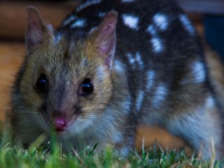 Tasmania Wildlife - Eastern Quoll - Pepper Bush Adventures