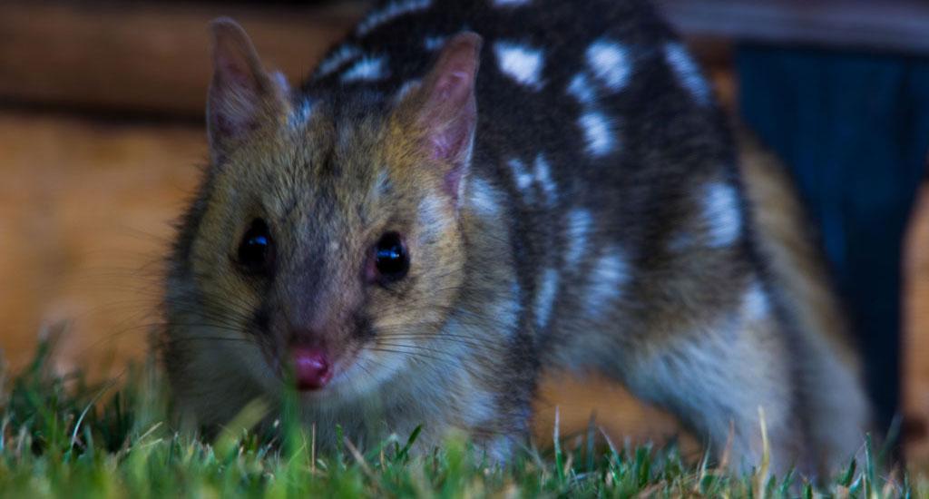Tasmania Wildlife - Eastern Quoll - Pepper Bush Adventures
