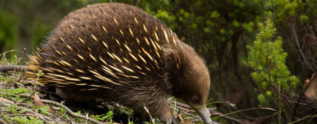 Tasmanian Tour - Echidna Roadside Discovery -Pepper Bush Adventures