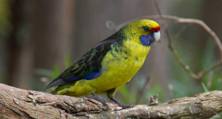 northern tasmania birding tours - green rosella parrot