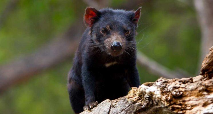 wildlife tours northern tasmania - tasmanian devil